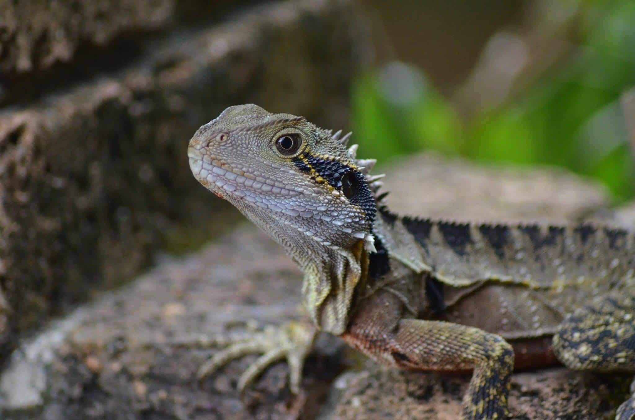Winsome Cheap Easy Pets To Take Care Of Beginners Vetbabble List Bearded Dragon Care Guide Bearded Dragon Essential Guide Easy Pets To Take Care bark post Easy Pets To Take Care Of