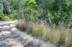 Vetiver applied for Railway batter stabilisation and protection with native revegetation after 4 years QLD