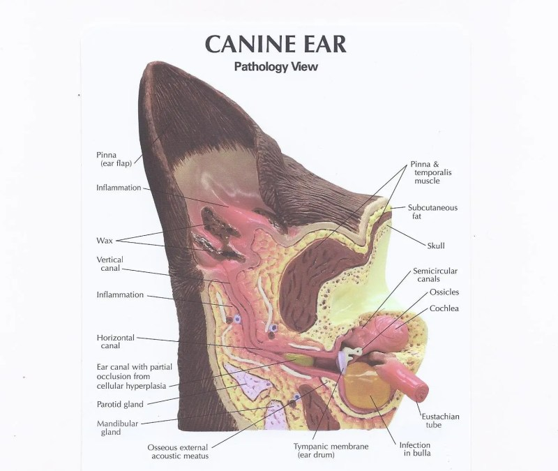 Large Of Ear Infection Hydrogen Peroxide
