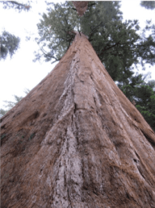 sequoia_upward perspective