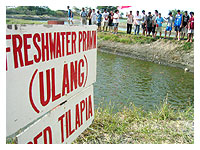 fishpond breeding ulang prawns