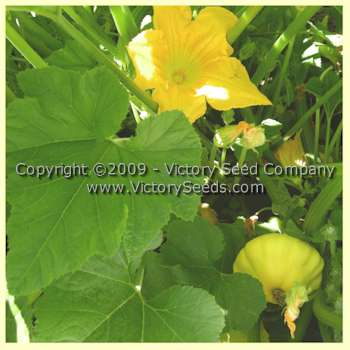 Yellow Bush Scallop Summer Squash - Heirloom, Open-Pollinated, non-Hybrid Victory Seeds®