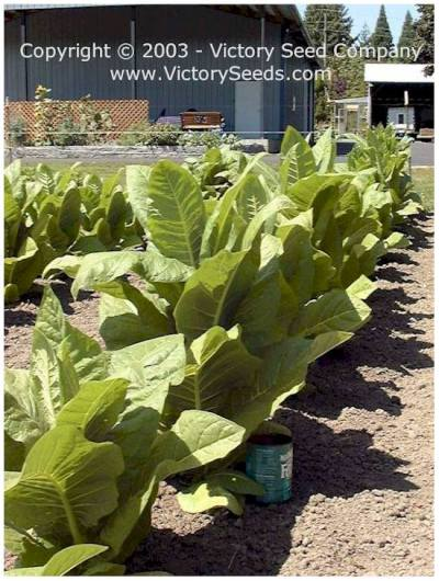 Cultivating, Harvesting and Curing Tobacco -- Victory Seed Company