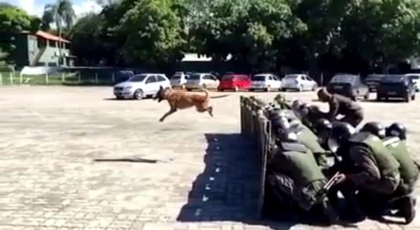 ET-le-chien-policier-en-mode-maintien-de-l-ordre