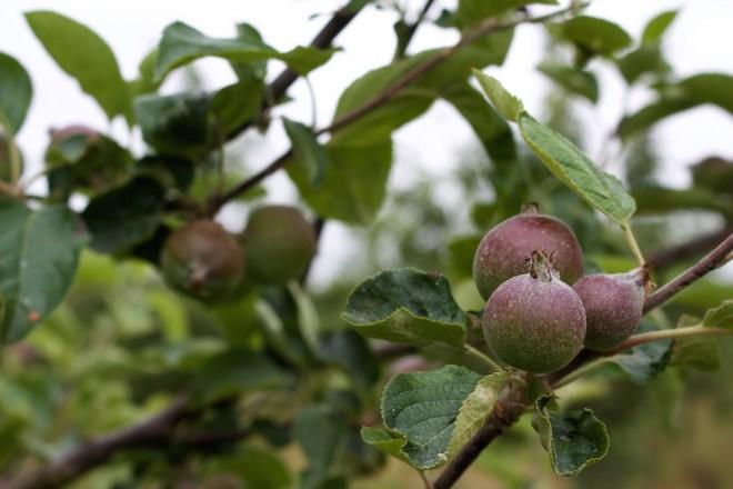 Apfelplantagen für den so köstlichen Saft und Cidre Apfleplantage Normandie Urlaub Reisen Frankreich