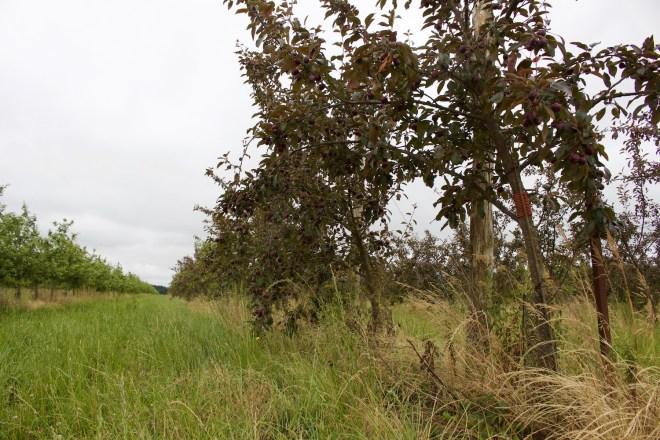 Frankreich Normandie Apfelplantage auf alten normannischen Streuobstwiesen