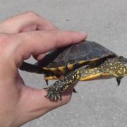 El Consorci riu Millars finalitza amb èxit la campanya de control de tortuges d'aigua dolça