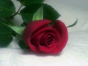 Allongez la vie de vos fleurs, comme cette belle rose
