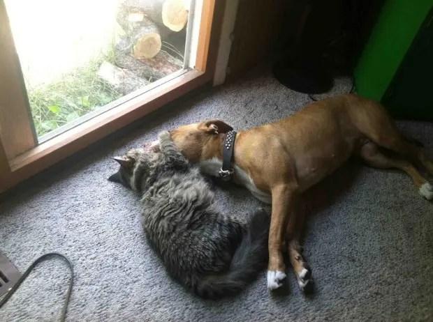 6pitbulls&gatos