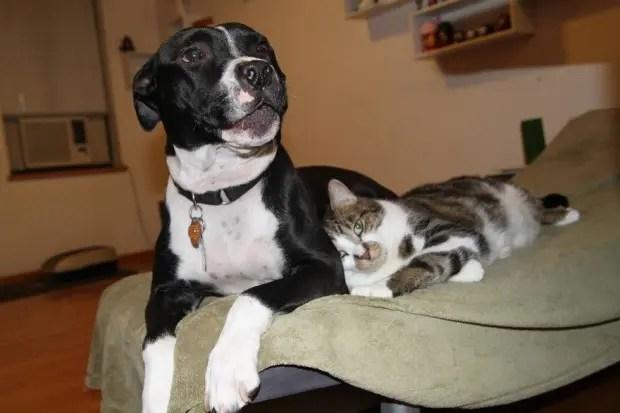 7pitbulls&gatos