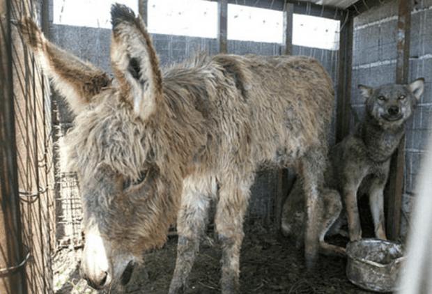 wolf-donkey-friendship