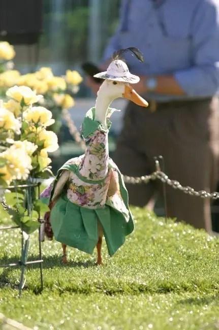 patos-elegantes2