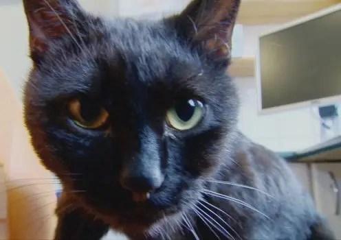 gato-negro-enfermero-radamenes