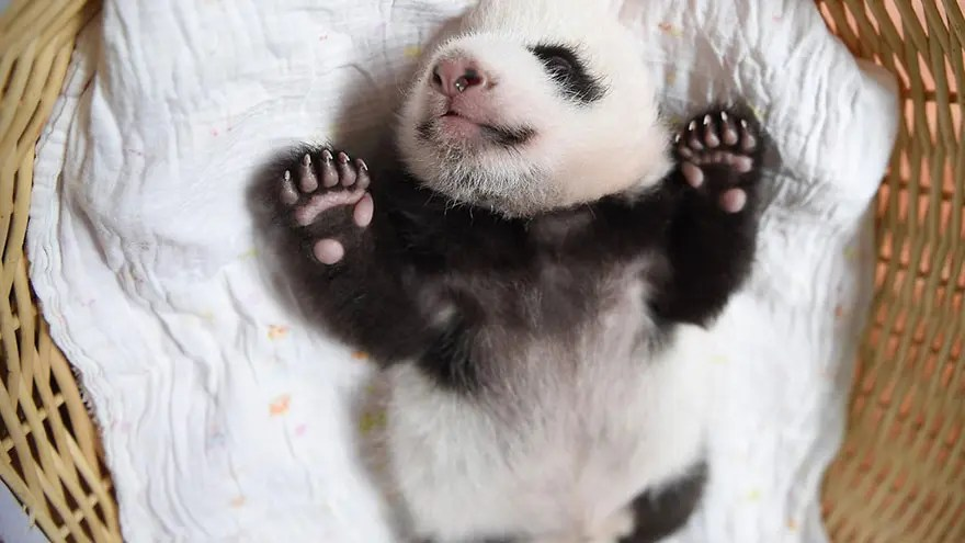 panditas-bebes-en-canastas-13