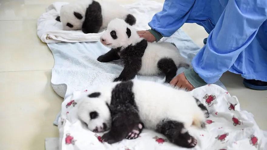 panditas-bebes-en-canastas-9