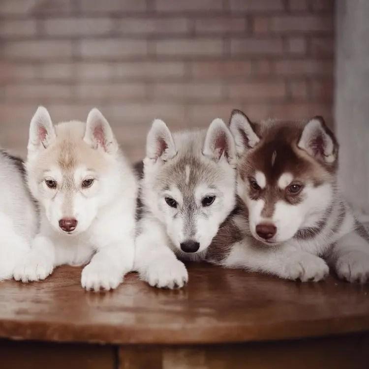 siberian-husky-dog-instagram-erica-tcogoeva-14