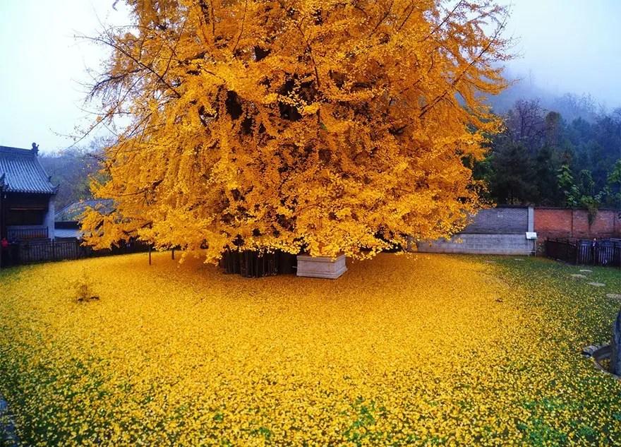 arbol-antiguo-amarillo-china4