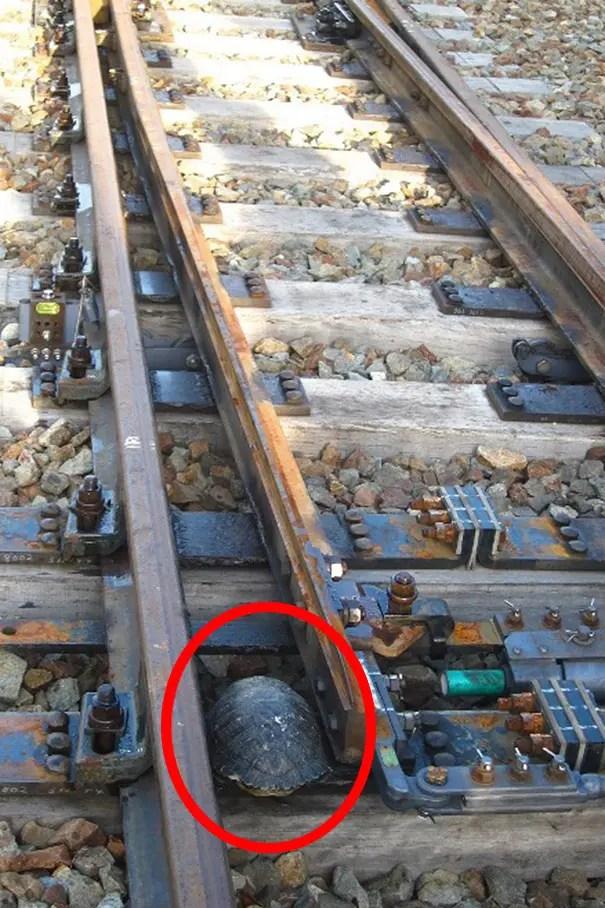 ferrocarril de tortugas 2