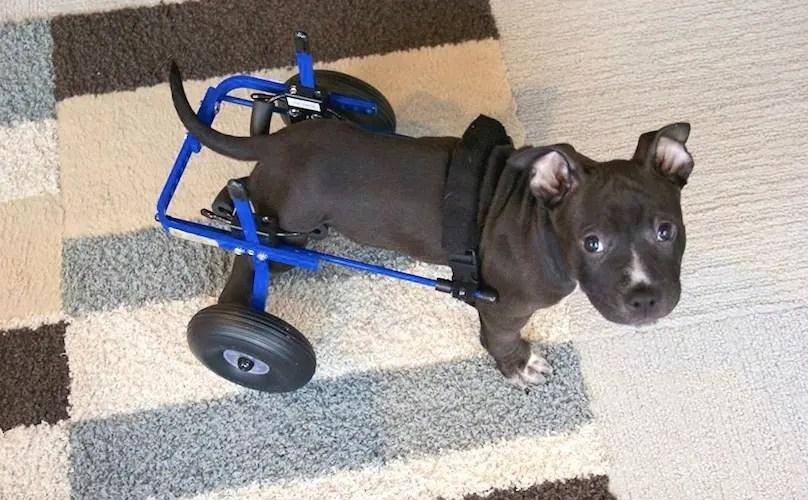 perro-con-paralisis4