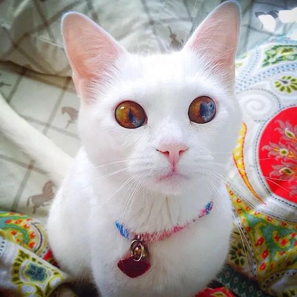gatos heterocromia 5