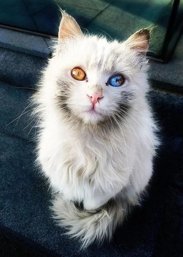 gatos heterocromia 6