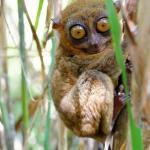 Philippine Tarsier Wildlife Sanctuary : Corella – Bohol
