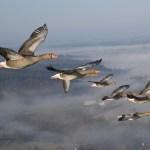 Voler en ULM avec les oies en Mayenne et en Alsace