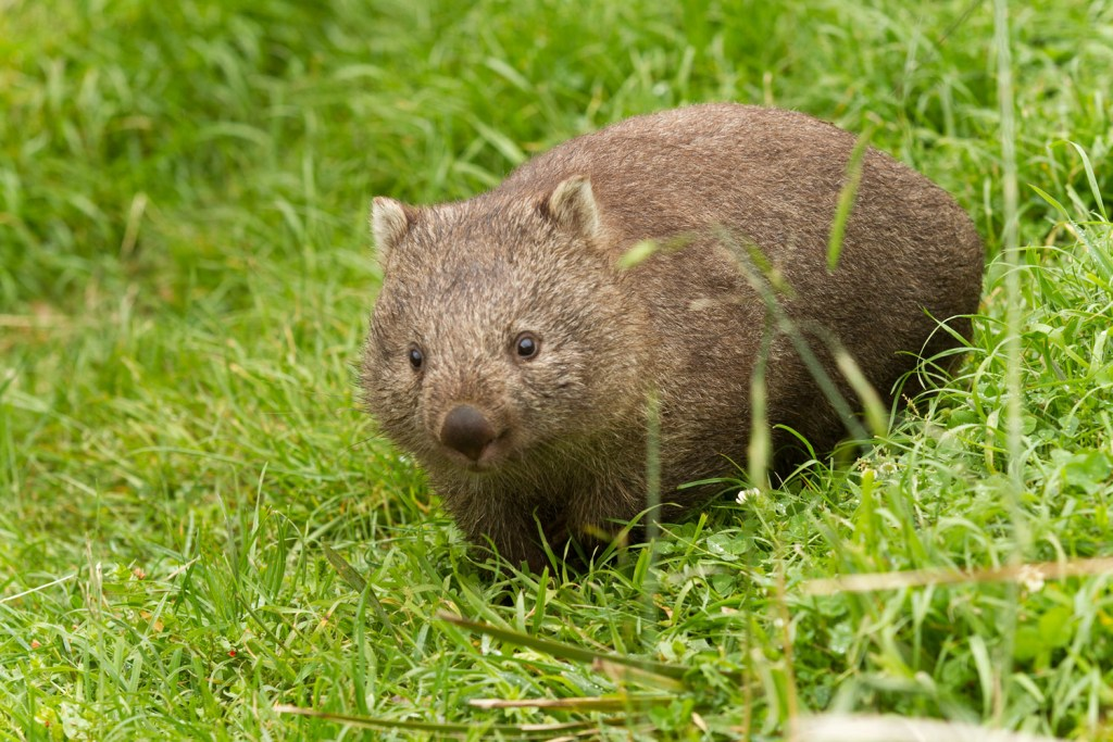 bichenot-natureworld-wombat-1