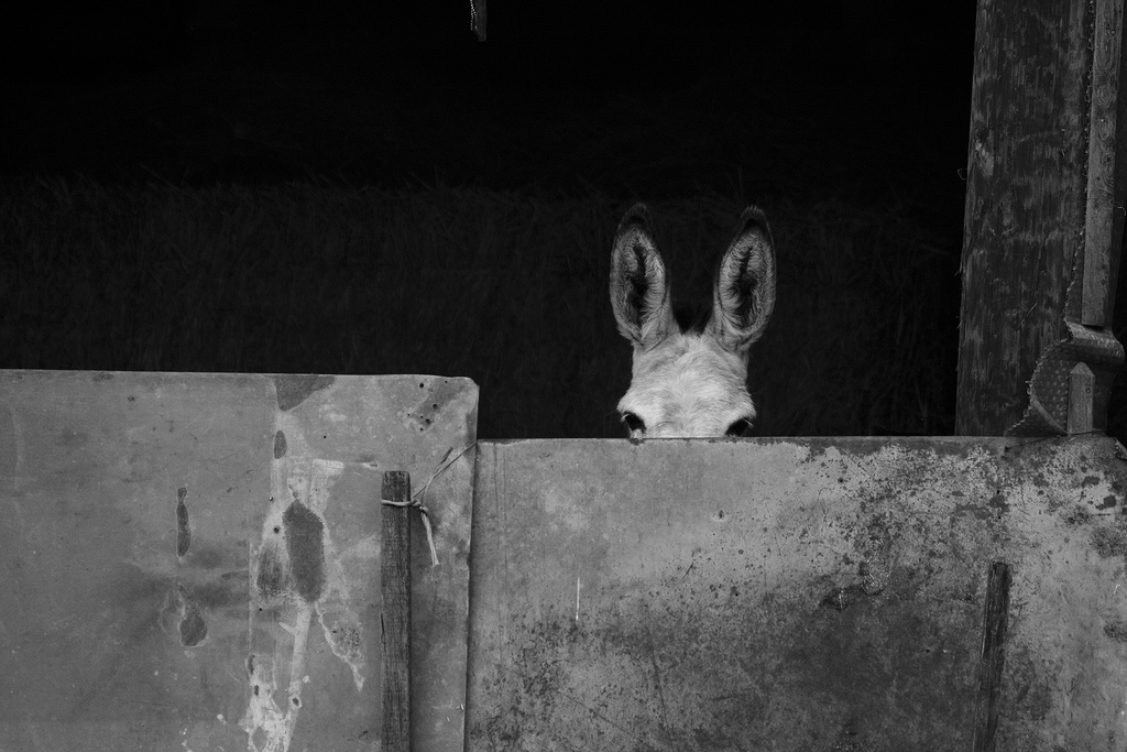 a donkey is hiding