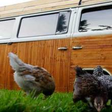 Guy from Portland turns VW bus into chicken coop