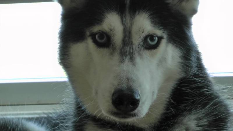 Large Of Pictures Of Huskies