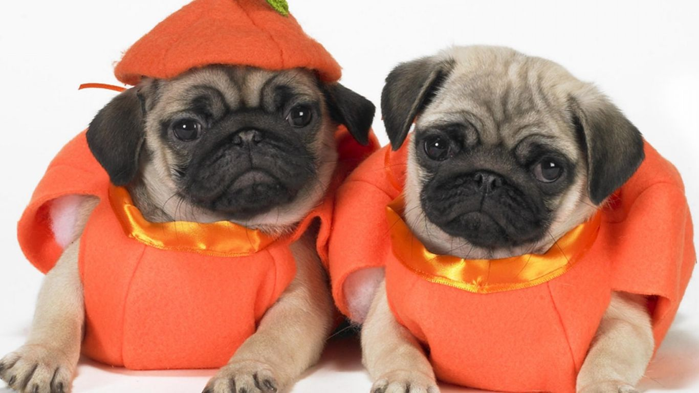Astounding Costumes Images Pugs Pugs Pugs Halloween Costumes Food Costumes bark post Pugs In Costumes