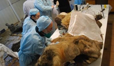 Mammut ritrovato in Siberia: possibile clonazione?