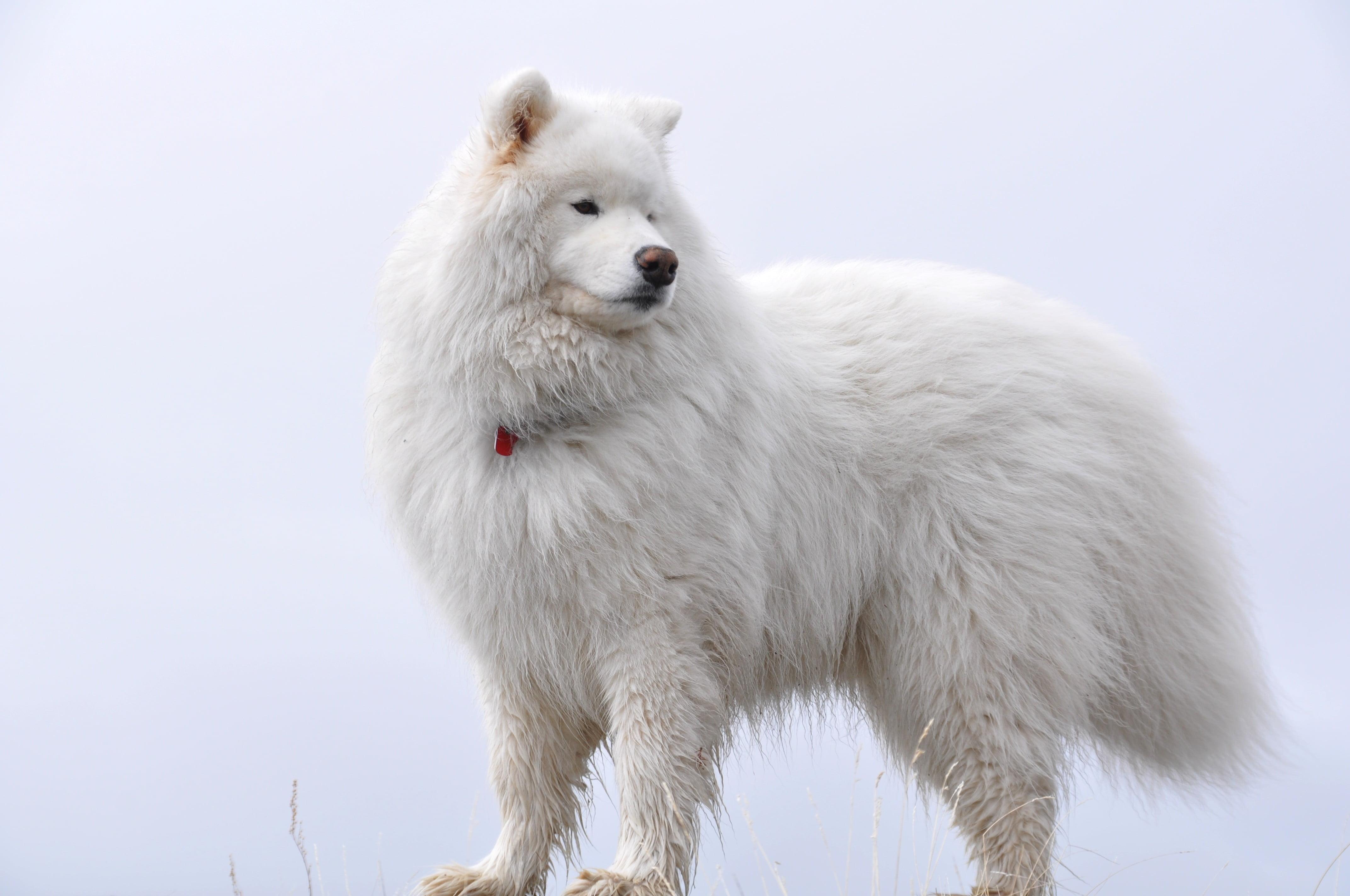 Fullsize Of Fluffy White Dog