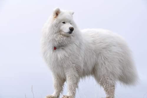 Medium Of Fluffy White Dog