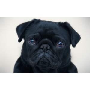 Relieving Sale Scotland Pup Photo Black Pug Puppy Gif Black Pug