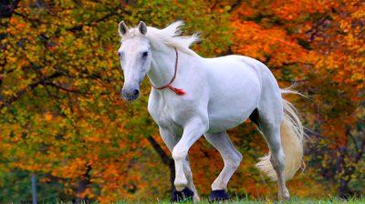 Beautiful White Horse Wallpaper Hd 013 : Wallpapers13.com