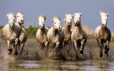 Galloping White Horses Hd Wallpapers For Laptop Widescreen Free Download : Wallpapers13.com