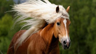 Red horse with beautiful white mane-HD Desktop Wallpaper : Wallpapers13.com