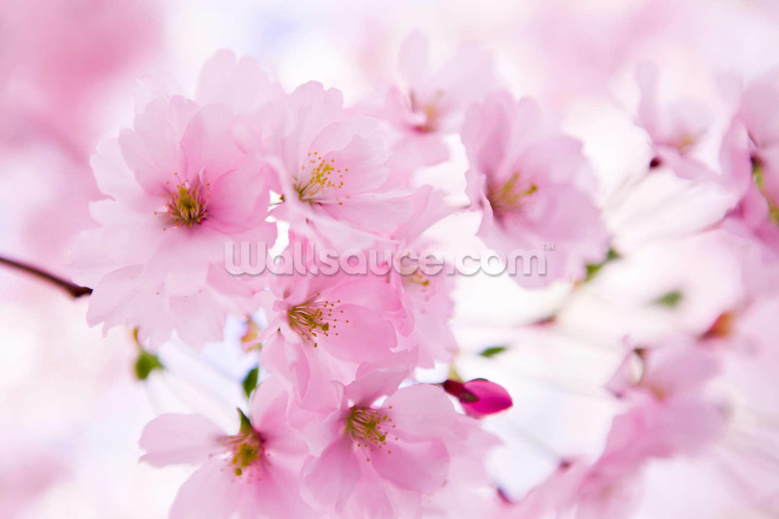 Fullsize Of Cherry Blossom Wallpaper