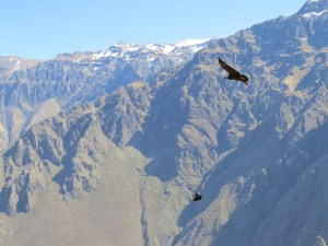 Condors in the Andes, Peru