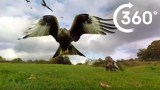 360° Red Kite Bird Feeding Frenzy 4k – BBC Earth Unplugged