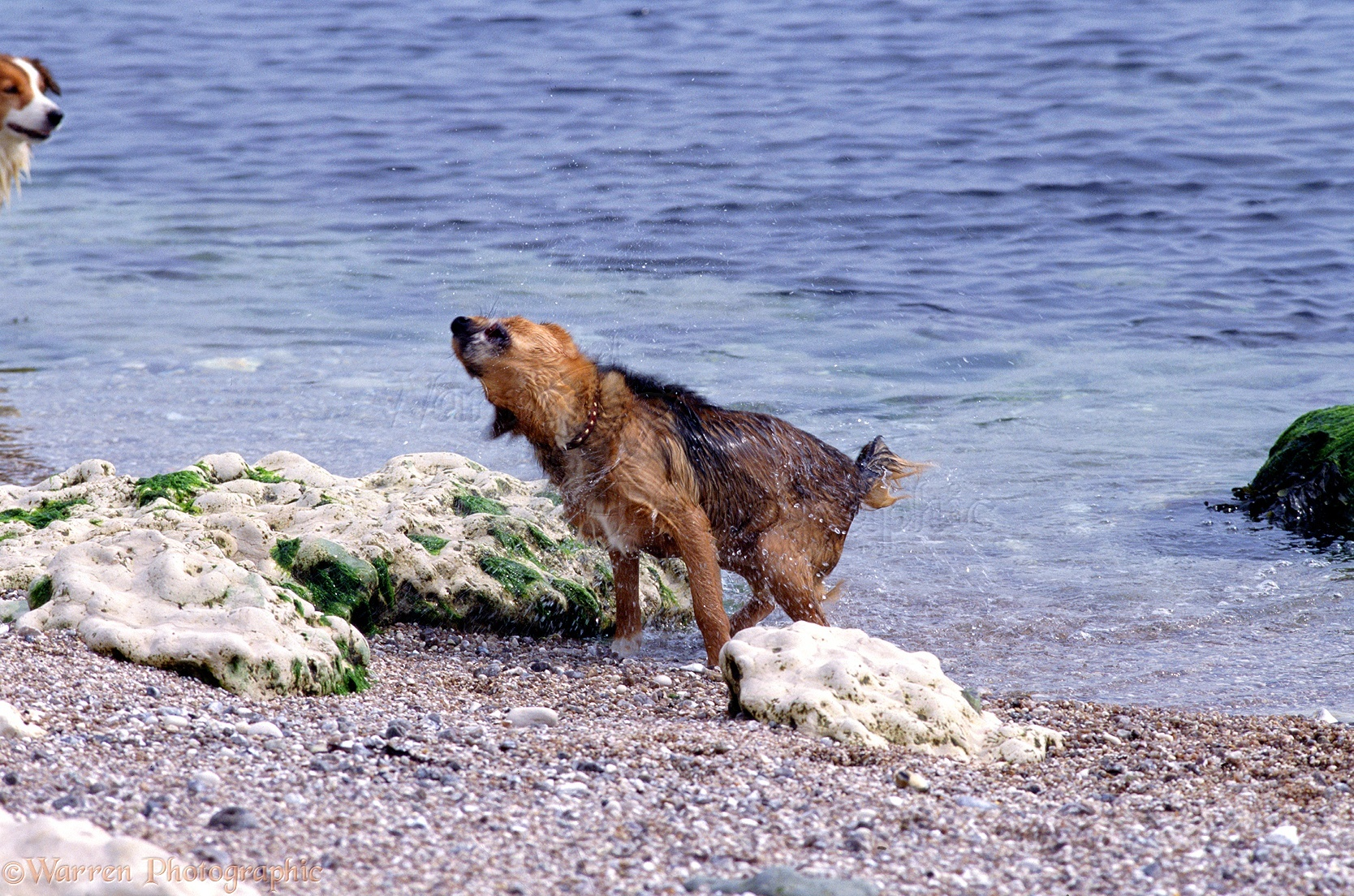 First Lakeland Terrier X Border Bess Shaking Herself Dog Shaking After Swimming Photo Dog Is Shaking His Sleep Dog Is Shaking After Haircut bark post Dog Is Shaking