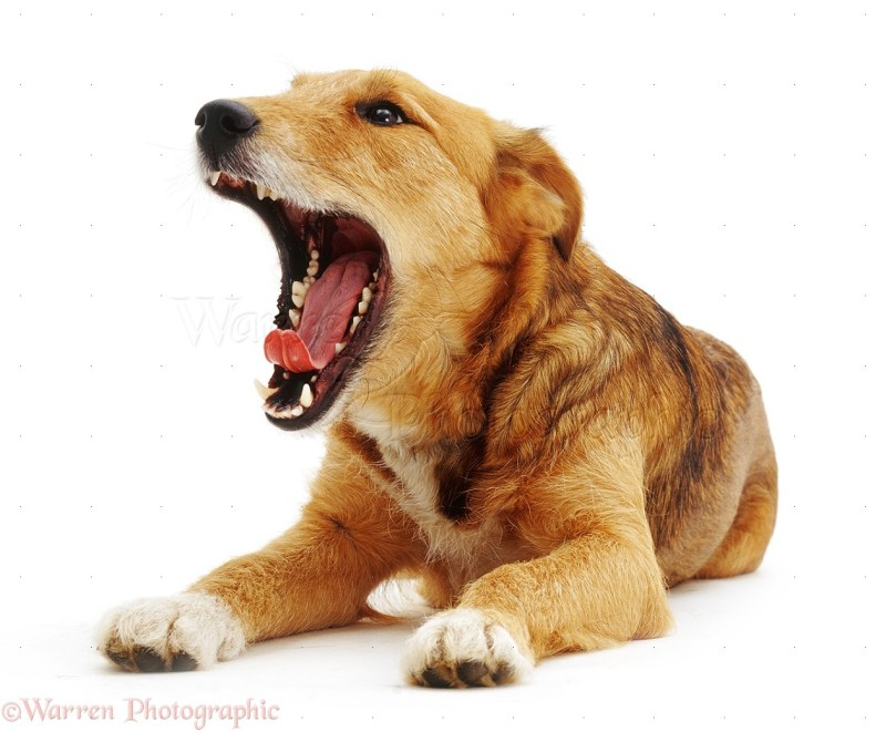 Large Of Why Do Dogs Yawn