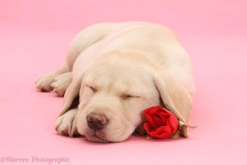 Medium Of Cute Puppies Sleeping