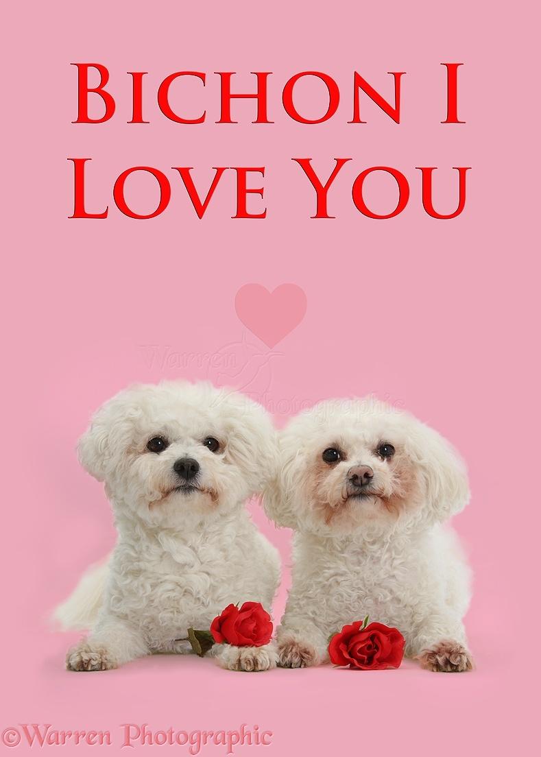 Distinctive Bichon Frise Poppy Pipa Bichon I Love You Photo I Love You Dog Husky I Love You Dog Full Video bark post I Love You Dog