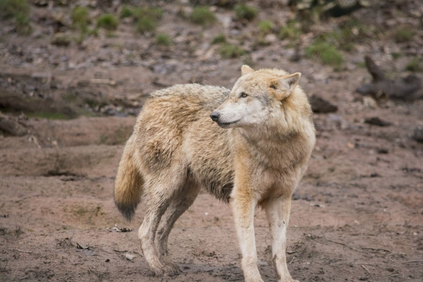 Grand Dogs Vanished After Europeans Study Finds Washington Post Dogs Vanished After Europeans Study Finds 10 Dog Breeds That Look Like Wolves Dog Names Dogs That Look Like Wolves bark post Dog Breeds That Look Like Wolves