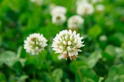Small Of How To Get Rid Of Clover