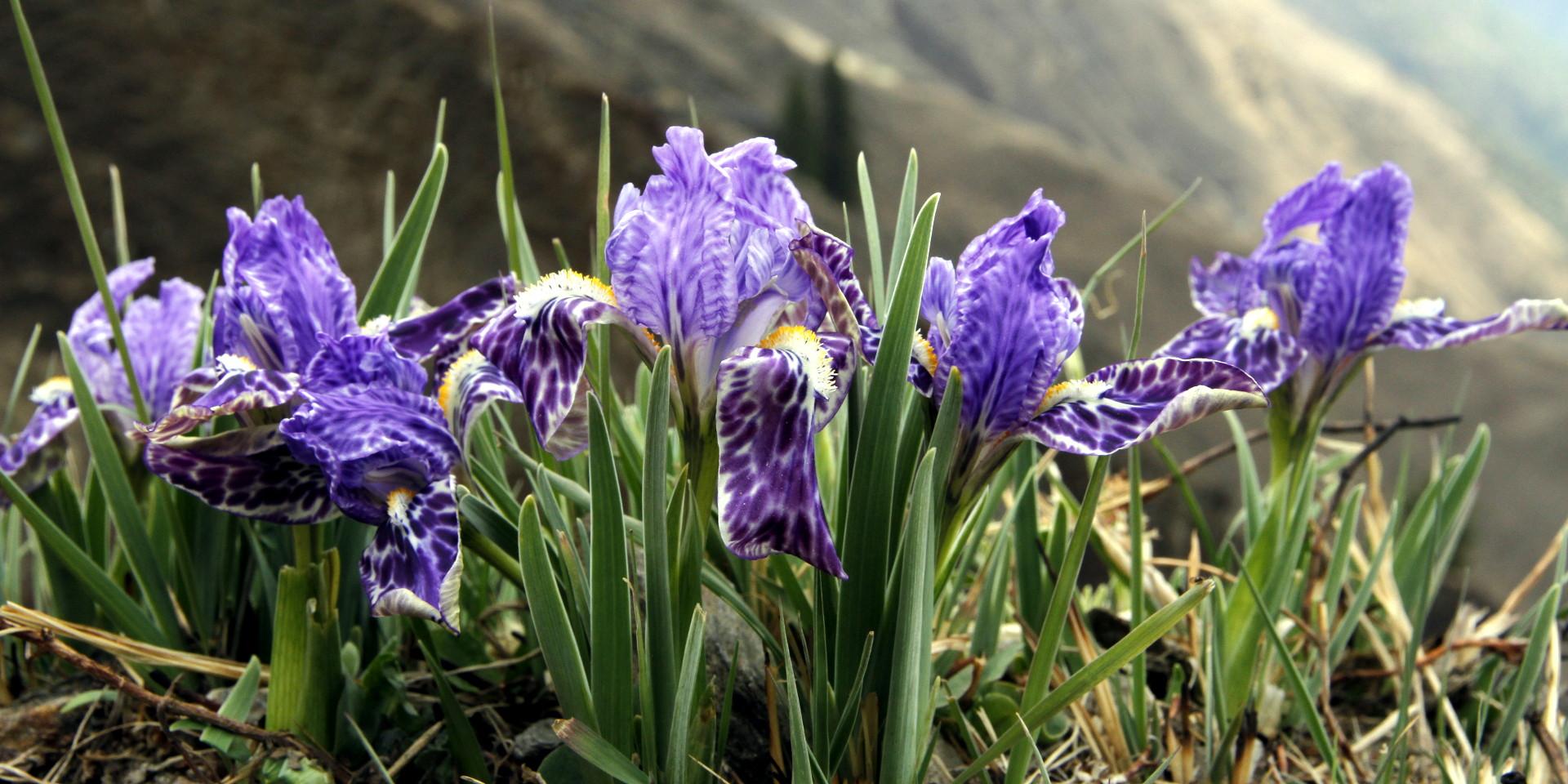 hookers-iris-1920x960