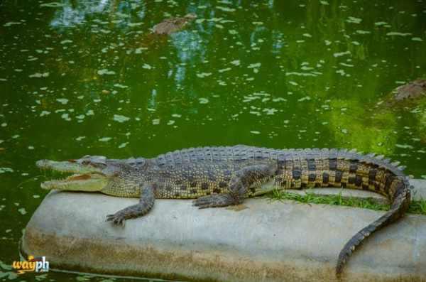 Davao Crocodile Park (26)